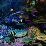 アクアリウム初心者向け!おすすめパイロットフィッシュ(熱帯魚)選びはベタ・グッピー・ネオンテトラほか?
