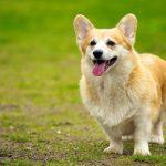 愛犬がドライフード(カリカリのご飯・餌)を食べない原因や理由&おすすめ対処対策方法は?