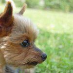 ヨークシャテリア【ヨーキー】の性格・特徴・飼い方『子犬~躾(しつけ)の仕方&トリミングカット方法』