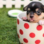 女の子(メス)の犬を飼うときの避妊手術は愛犬の為?【メリット&デメリット・注意すること】